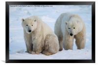 Polar Bears, Churchill, Canada, Framed Print