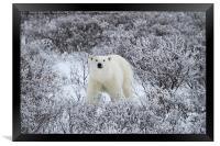 Polar Bear in The Arctic Willow, Framed Print