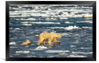 Polar Bears in Hudson Bay, Canada, Framed Print