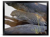 Leopard, Framed Print