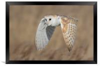 Barn Owl in Flight, Framed Print