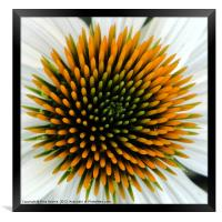 Echinacea Plant, Framed Print
