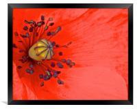 Bright Red Poppy up Close, Framed Print
