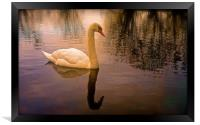 One Swan, sunset on water                         , Framed Print