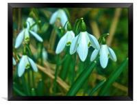 Woodland Snowdrop Flowers                         , Framed Print
