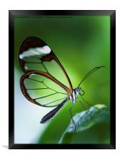 Macro photograph of a Glasswinged Butterfly, Framed Print