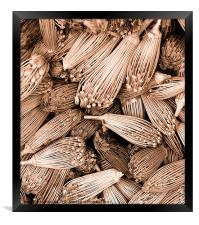 Dried herbs in sepia, Framed Print