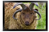 Manx Loaghtan Sheep, Framed Print