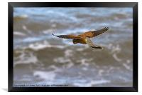 Kestrel hovering (Falco tinnulculus), Framed Print