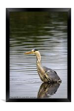 Grey Heron fishing, Framed Print