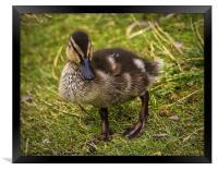 Mallard duckling, Framed Print