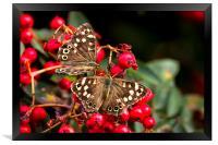 Butterflies feeding, Framed Print