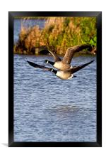 Canada Geese in flight, Framed Print