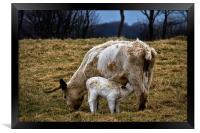 Feeding calf and mother, Framed Print