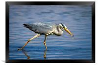 Snack time for Grey Heron, Framed Print