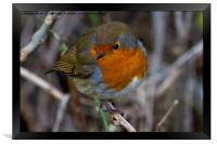 Fluffed up Robin, Framed Print