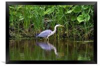Grey Heron reflected, Framed Print
