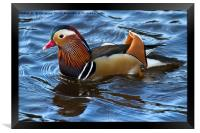 Mandarin Duck, Framed Print