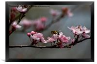 Bee, blossom and promise of spring, Framed Print