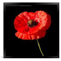 Remembrance Poppy, Framed Print