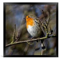 Robin Red Breast, Framed Print