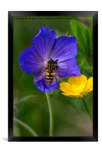 Cranesbill, Buttercup and Hoverfly, Framed Print