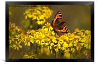 Tortoiseshell butterfly in September sunshine, Framed Print