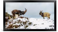 Welsh Mountain Goats, Framed Print
