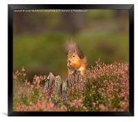 Red Squirrel in Autumn, Framed Print