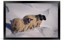 sheep in the snow, Framed Print