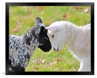 Black and white Lambs, Framed Print