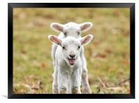 Lambs, Framed Print