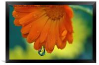 Marigolds, Framed Print