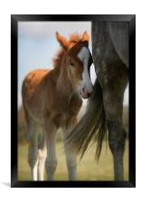 New Forest foal and mother, Framed Print