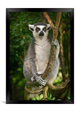 Lemur, Framed Print