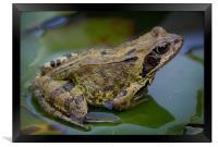 Common Frog, Framed Print