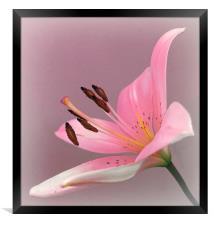 PINK LILY                  , Framed Print