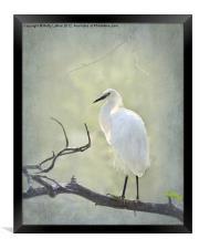 Snowy Egret, Framed Print