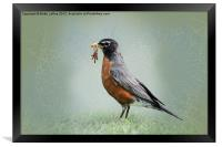 American Robin with Worms, Framed Print