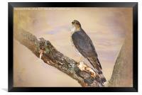 Sharp-Shinned Hawk, Framed Print