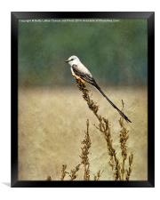 Scissor-tailed Flycatcher, Framed Print