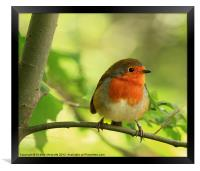 Robin Red Breast, Erithacus rubecula, Framed Print