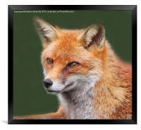 Dreamy Fox, Framed Print