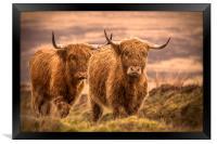 Highland Cattle, Framed Print