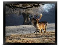 Fallow Deer Stags, Framed Print