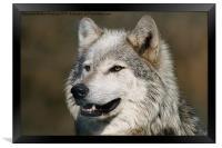 Grey Wolf, Framed Print