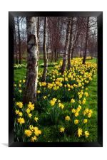 Daffodils in Mitchell Gardens, Chard, Somerset, Framed Print