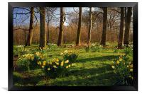 Graves Park Daffodils, Sheffield, Framed Print