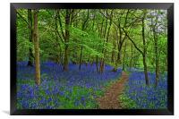 Woolley Wood  Bluebells                           , Framed Print