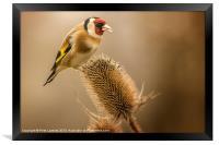 Goldfinch (Carduelis carduelis), Framed Print
